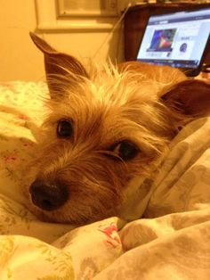 Lyla  Silky Terrier | Pawshake Callaghan