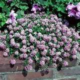 Sweet Alyssum Flower - Bing Images
