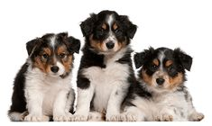Border Collie puppies, 6 weeks old, in front of white background by Lifeonwhite. Border Collie puppies, 6 weeks old, in front of white background Puppy Pictures, Cute Pictures, Senior Photography, Nature Photography, Border Collie Pictures, Border Collie Puppies, Alien Art, Puppy Breeds, Photoshop