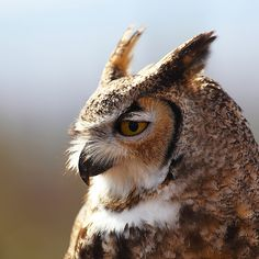 Great Horned Owl Portrait | Flickr - Photo Sharing!