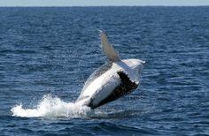 Humpback whale breaching, Coral Coast , Western Australia- June to November How He Loves Us, Next Holiday, Humpback Whale, Whale Watching, Whales, Western Australia, Marine Life, Dolphins, Road Trip