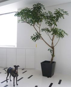 植物の持つ個性、器の持つスタイルから自分らしいFUGA GREENをご紹介。 Big Indoor Plants, Indoor Trees, Potted Trees, Indoor Garden, Tree Interior, Interior Plants, Green Plants, Green Flowers, Living Room Images