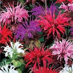"""Mixed Monarda:  Attract hummingbirds with aromatic leaves and frilly flower heads in a mix of white, pink, purple or red. Blooms early to midsummer on 28-40"""" stems. Space 12-24"""" apart. Fabulous at the back of borders. Ships in 3"""" pots. Monarda didyma     Zones: 4-9   Light: Full Sun to Partial Shade   Deer tend to avoid."""
