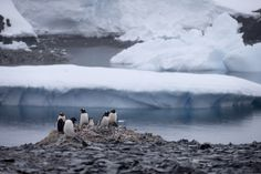 'Excesso' de gelo causa morte de milhares de pinguins na Antártica | Natureza | G1