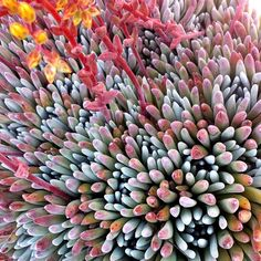 Dudleya 'Frank Renault' looking spiffy in a sample pot.