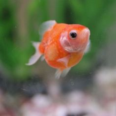 oh my god chubby! Baby Goldfish, Comet Goldfish, Goldfish Tank, Beautiful Creatures, Animals Beautiful, Cute Animals, Betta Fish Types, Class Pet, Ponds Backyard