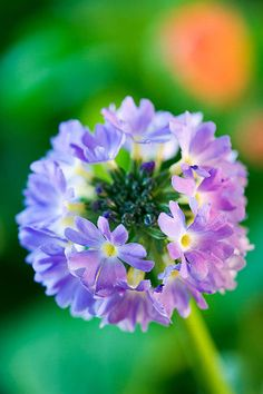 Blue Flower of Primula Denticulata - 'Lilac'