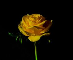 yellow rose by lizardofthewisard