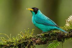 Green honeycreeper --- birds ---- guit - guit emeraude