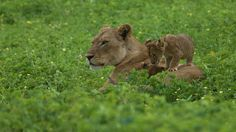 Lioness with 5 cubs by Mareko Marciniak on 500px