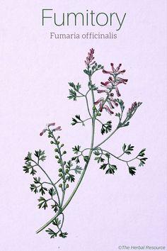 Fumitory Fumaria officinalis