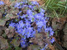 Leberblümchen Hepatica Nobilis blau blühender Bodendecker