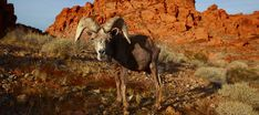 bighorn sheep at valley of fire