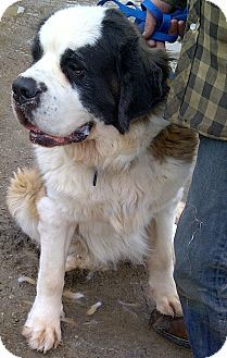 FOSTER HOME NEEDED is adoptable through Muskoka Rescue. She is a 4-year-old, 100-lb tricolour St. Bernard who will be spayed with all shots before being adopted. She is good with kids, dogs and most likely cats. Roxi is happy, obedient, and loves to play outside! Located in Muskoka, Ontario. Please repin! Email mpsiar@gmail.com.