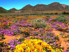 The natural flower wonderland during spring in Namaqualand, Northern Cape - South Africa. Out Of Africa, West Africa, South Afrika, Scenery Pictures, Desert Plants, Africa Travel, Beautiful Landscapes, Wild Flowers, Places To See