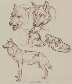 Some woofs for the this week. I was watching 's How to Draw Wolves, Coyotes, and Foxes while doodling these. Super fun content that makes me want to hooowwwwlllll with delight and just draw! You all should totally check out! Animal Sketches, Art Drawings Sketches, Animal Drawings, Drawings Of Wolves, Wolves Art, Coyote Drawing, Wolf Head Drawing, Dog Anatomy, Animal Anatomy