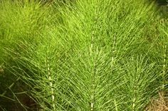 Mezei zsurló gyógyhatása Medical, Herbs, Health, Green, Alternative, Nature, Health Care, Medicine, Herb