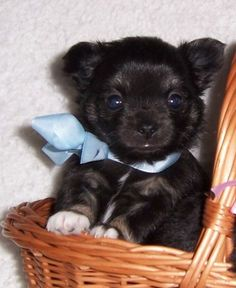Black long-haired Chihuahua.  Love him!