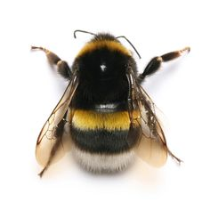 Love Shoes & Other Stories: The common bumblebee