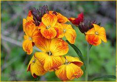 Fleur giroflee erysimum cheiri  giroflees sauvages