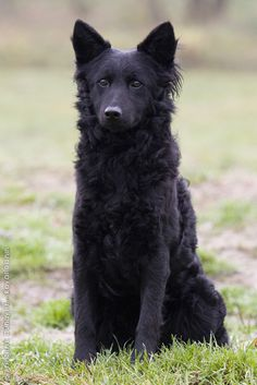 Hungarian Mudi dog - pretty sure my pound puppy is a mix of this dog and black border collie. This is Kida totally except her coat is a little longer and she has a few stray white hairs where the collies have complete collars. Wow.