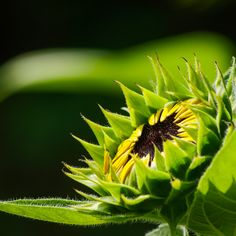 Sunflower bud in low-key