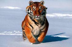 Fondo pantalla Tigre