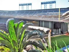 The San Francisco Giants grow kale and tomatoes in their baseball stadium.