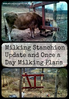 Milking Stanchion Update and Once a Day Milking Plans Fainting Goat, Miniature Cattle, Mini Cows, Hobby Farms, Small Farm, Livestock, Farm Life, Farm Animals, Homesteading