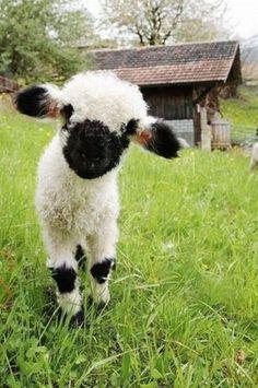 A curious Valais Blacknose Lamb