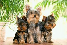 PUP 04 JE0009 01 © Kimball Stock Yorkshire Terrier Puppies And Adult Sitting On Hardwood Floor By Potted Plants