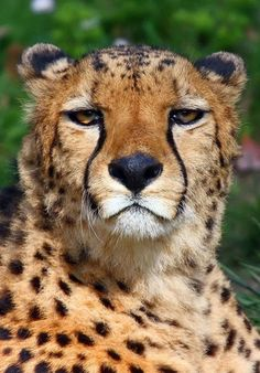 I love the cheetah I Love Cats, Big Cats, Cool Cats, Cats And Kittens, Zoo Animals, Animals And Pets, Funny Animals, Wild Animals, Beautiful Cats