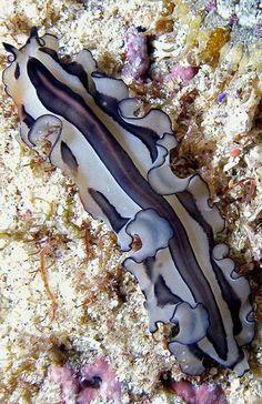 Grateful Flatworm - Pseudoceros gratus <3