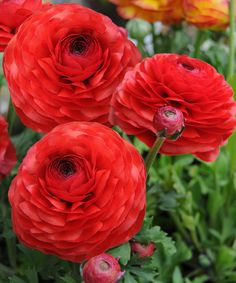 red ranunculus - Google Search