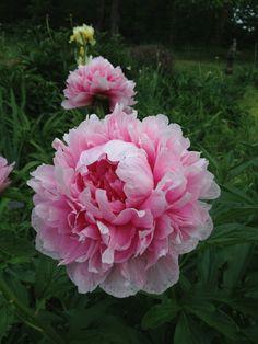 'Roseheart' peony in my garden
