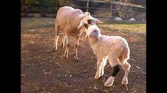La pequeña y dulce Fabiola lucía la marca roja en el cuello que la condenaba al matadero y ahora vive tranquila en el Santuario Gaia.