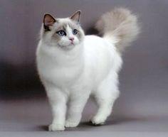 Ragdoll cat, beautiful
