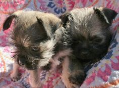 Pug and Wire Hair Terrier Fox Terrier, Terrier Mix, Pug Mixed Breeds, Cute Puppies, Cute Dogs, Wire Haired Terrier, Mixed Babies, Brussels, Yorkie