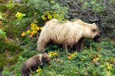 Mama Grizzly and her cub, Denali National Park, Alaska.  This beautiful sight was seen from our tour bus on way back to Visitors Center in Denali.