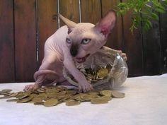 This greedy cat. | 31 Animal Pictures That:拾い物。この猫種スフィンクスは苦手な猫だが、この写真はキテる。