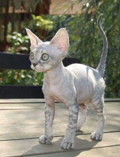 Cats sphynx devon rex 41 ideas for 2019 Pretty Cats, Beautiful Cats, Animals Beautiful, Beautiful Pictures, Baby Animals, Funny Animals, Cute Animals, Funny Cats, Funny Minion
