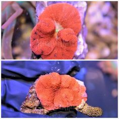 Blood Red Mini Carpet Anemone Bubble Tip Anemone, Types Of Carpet, Anemones, Blood, Fish, Red, Pisces, Rouge