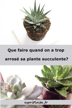 Comment sauver une succulente trop arrosée - entretien des plantes grasses et arrosage des succulentes