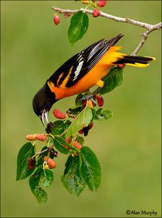 Spring visitor....Baltimore Oriole - Birds Photo By: Alan Murphy