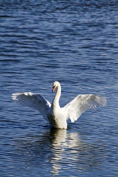 Mute Swan having a stretch