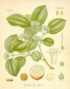 Common Name: Poison nut: Quaker buttons. General Information Nux vomica is prepared from the strychnine-containing seeds of the Strychnine or Poison Nut tree. Once prepared in homeopathic potencies, the remedy … Help With Bloating, How To Help Nausea, Deadly Plants, Poisonous Plants, Melaleuca, Plant Illustration, Botanical Illustration, Homeopathic Remedies, Natural Remedies