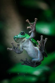 Chinese Gliding Tree Frog