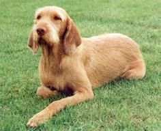 wirehaired hungarian vizsla puppy