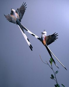 Scissor-tail Flycatcher http://www.lonniedyewildfowlart.com/Images/Gallery/10%20Scissortails%20Flying%20Left%20Side.jpg