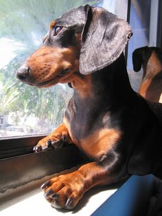 You are coming back right?~~~~ I love dachshunds..our little Oscar is 12 years old and this reminds me of him..he does not like for us to go anywhere without him..he does not like to be by himself..he is our baby!!!!!
